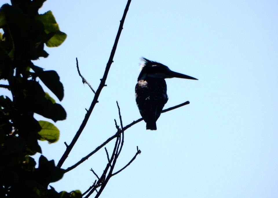 First bird sighting, a Kingfisher.