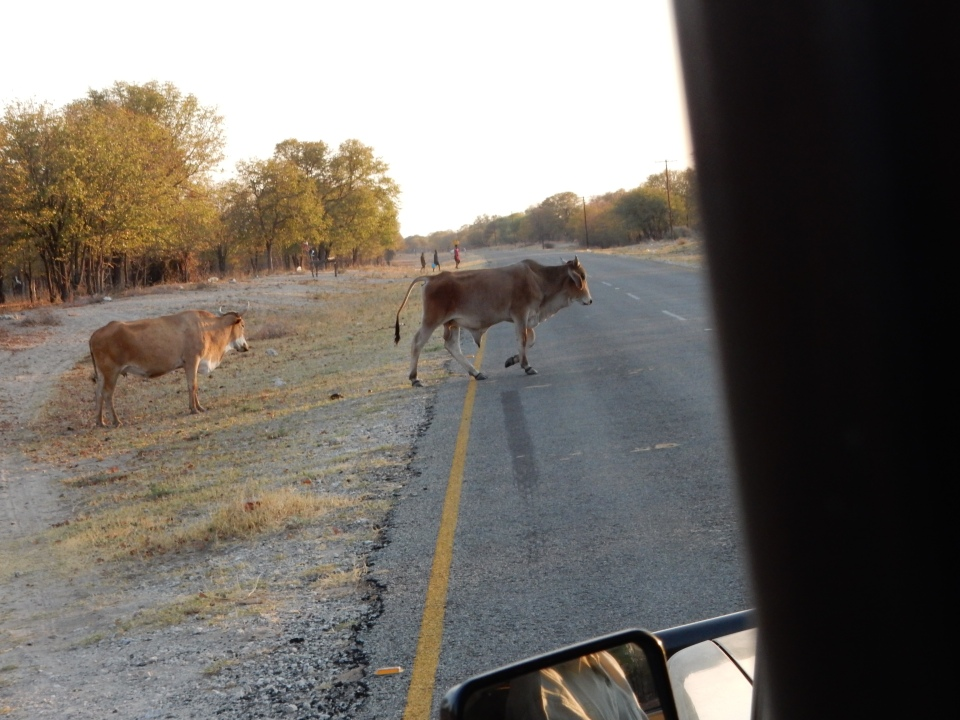 In Botswana, animals always have the right-of-way.