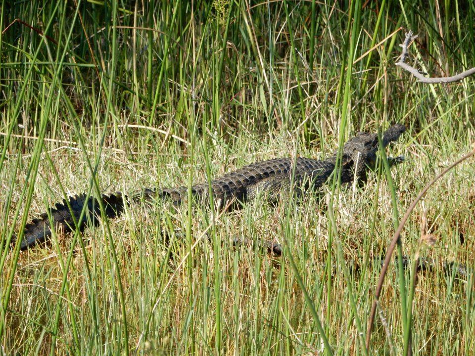 A real Croc.
