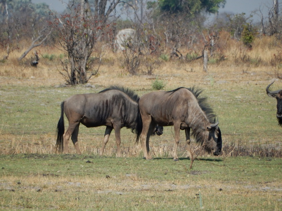 Wildebeests everywhere.