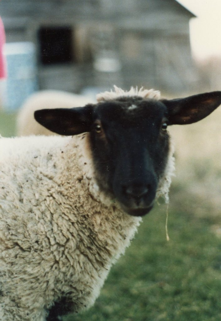 I didn't have any photos of Mongolia. But they only eat mutton. Here's one of my mom's sheep.