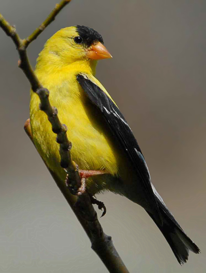 47-American_Goldfinch